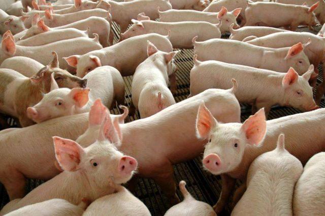 葡萄牙对中国猪肉出口急增