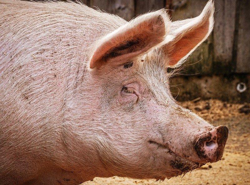 Produção de porcos afunda na China e impacto chega a Portugal